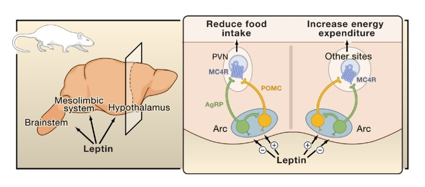 A model of a hypothalamus in a rat (which is similar to brain circuits in humans). Leptin acts on neurons in the arcuate nucleus (Arc) to stimulate the production of POMC and a-MSH but inhibit the production AgRP. This suppresses food intake but increases energy expenditure (e.g. through heat production, heart activity).