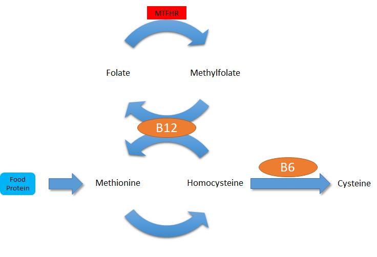 MTHFR-homocysteine