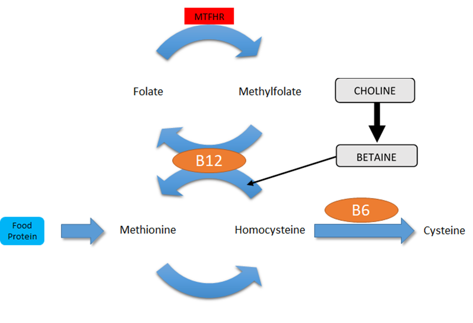 Choline and methionine cycle