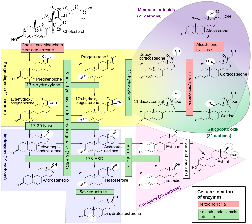 steroid hormone synthesis