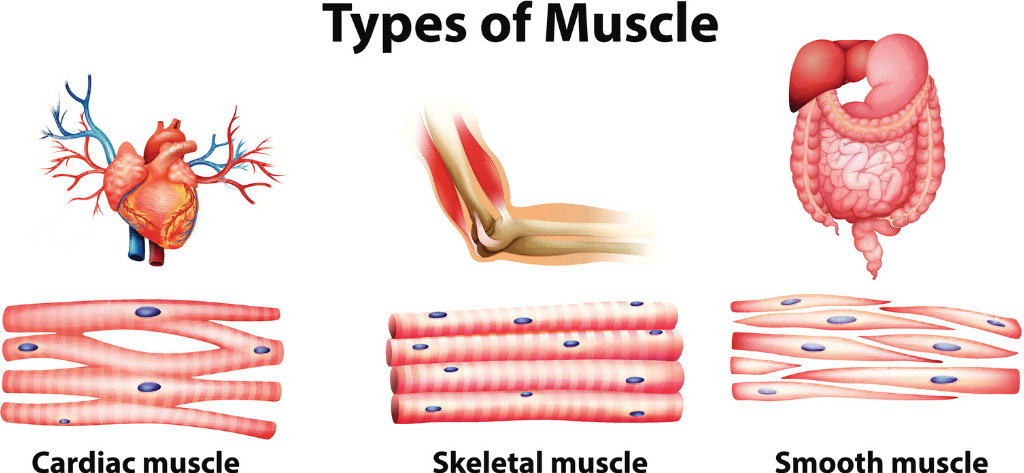 Different muscle types