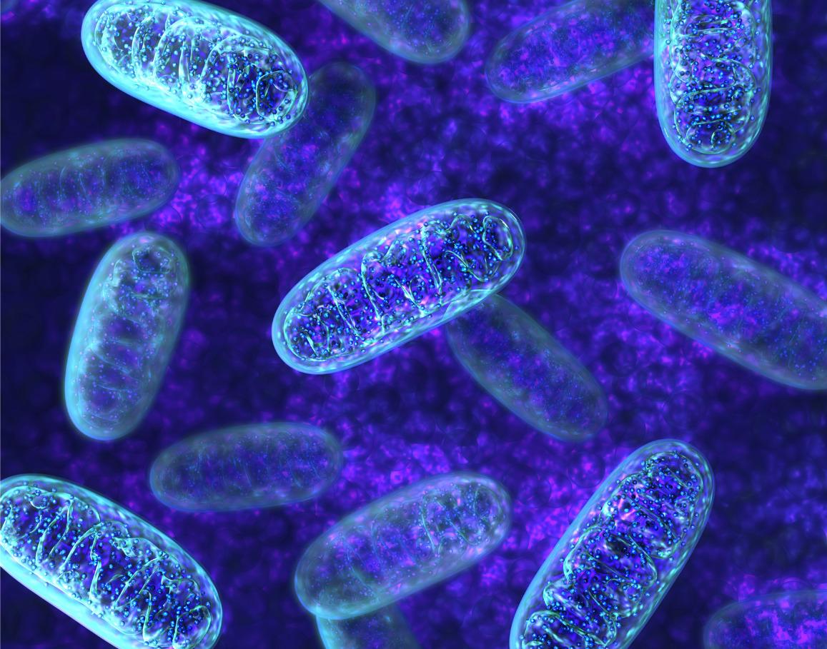 Mitochondrial Biogenesis (PGC-1α)